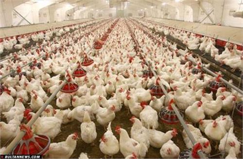 مصون ماندن مرغداریهای یزد از خسارت خاموشیهای برق